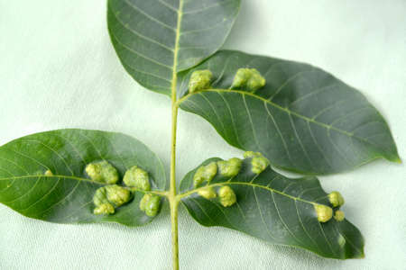 Galls on walnut leaves affected by nut felt (gall) mite (Eriophyes Tristriatus var. Erineus Nal.) Stock Photo
