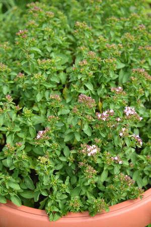 Thyme creeping (thyme ordinary, Bogorodsk, bogoroditsky grass) (Thymus serpyllum L.). Background from flowering plants