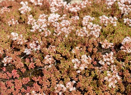 Flowering leaflet white (Sedum album L.), background