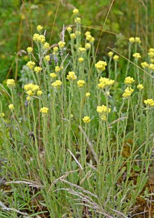 The immortal is sandy (Helichrysum arenarium (L.) Moench). Flowering plants