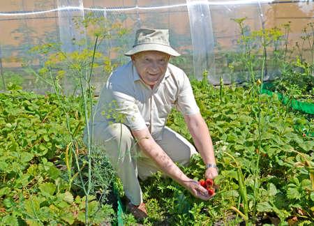 Summer resident collects strawberries in the garden Reklamní fotografie