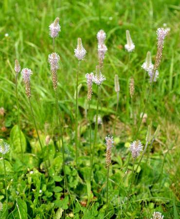 Flowering plantain medium (Plantago media L.)