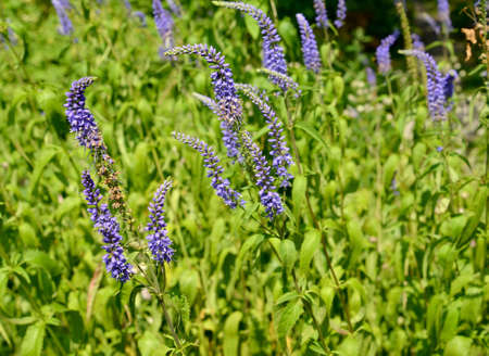 The inflorescences of the veronica are long-leaved (Veronica longifolia L.)