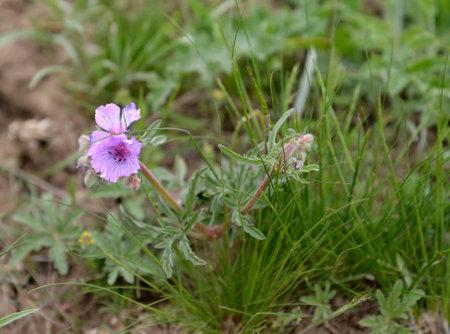 The blossoming geranium tuberous (Geranium tuberosum L.) in the Kalmyk steppe