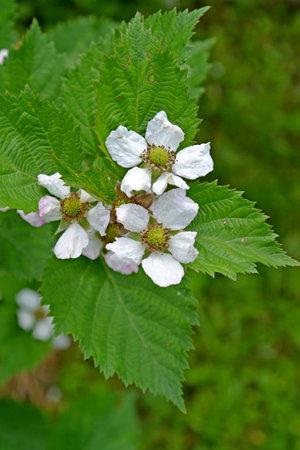 Blackberry flowers are artisanal (Rubus fruticosus L.)
