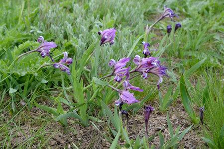 Lily dwarf wild irises (Iris pumila L.). Kalmykia