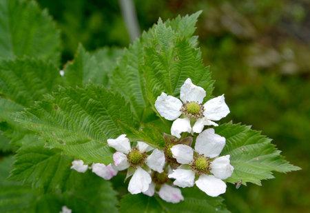 Flowering blackberry artisanal (Rubus fruticosus L.)