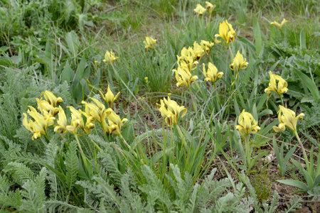 Yellow dwarf wild irises (Iris pumila L.). Kalmykia
