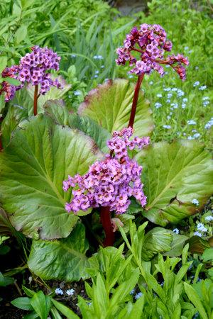 Badan thick-leaved (Bergenia crassifolia (L.) Fritsch). Flowering plant