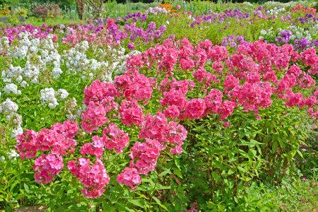 Garden flower garden with flowering flocks (Phlox L.)