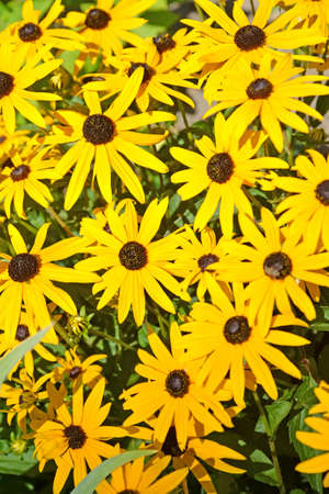 The yellow daisy rudbeckia flowers (Rudbeckia hirta L.). Background