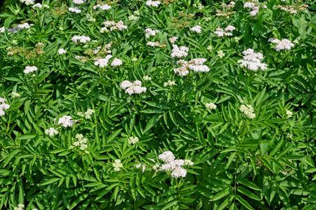 Buzina herbaceous (Sambucus ebulus L.). Flowering plant