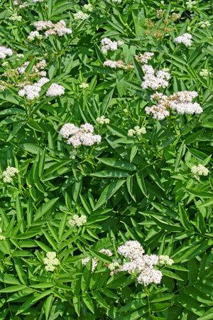 Flowering buzz grassy (Sambucus ebulus L.)