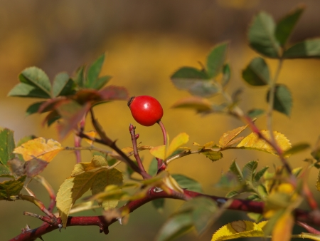 rose bush: rose bush in autumn