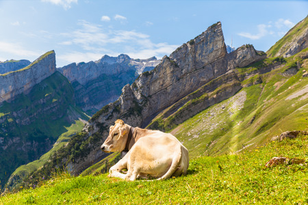 Cow lying on the grass, with the Alpstein massif as bakground, Switzerland photo
