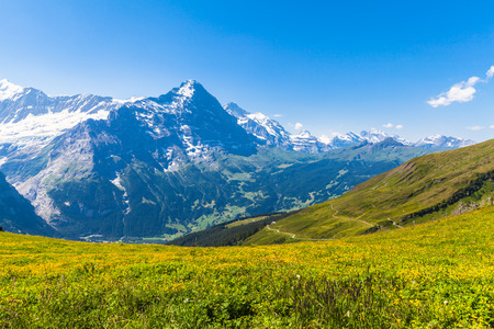eiger: Panorama view of Eiger, Monch and other peaks of swiss alps near Grindelwald, Switzerland. Photo taken in summer on a sunny day with yellow flowers in foreground.