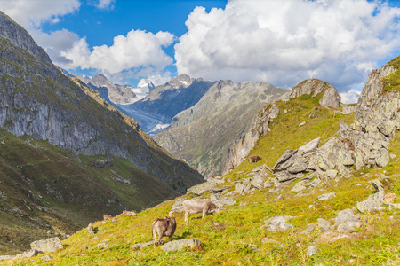aletsch: Group of cows eating grass in swiss alps with view of the famous Aletsch glacier in the background. Photo taken in summer on the hiking path, Switzerland.