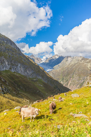 Group of cows eating grass in swiss alps with view of the famous Aletsch glacier in the background. Photo taken in summer on the hiking path, Switzerland. photo