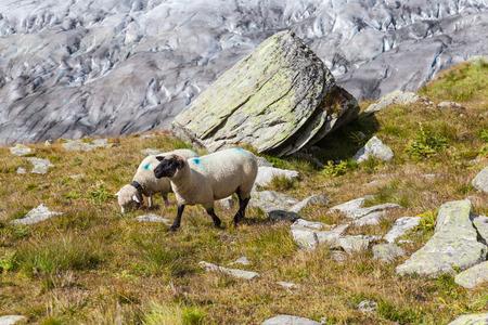 aletsch: Sheeps in alps above the Aletsch glacier in Jungfrau region, Valais, Switzerland Stock Photo
