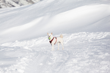 Cute white dog with tenis ball in mouuth standing in snow photo
