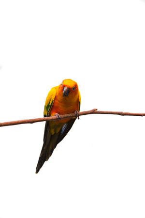 Sun conure in isolated white background a mediumsized brightly colored parrot native to northeastern South America. photo