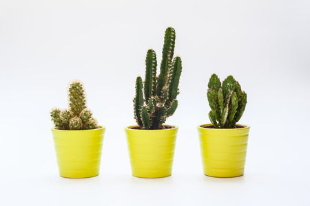 Close up view of three small cacti in isolated white background, potted house plant as home office indoor decoration. Stock Photo