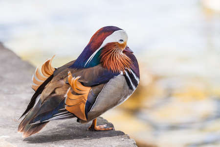 Close up view of a male Mandarin duck standing near the water. Imagens