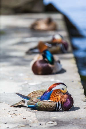 Close up view of a male Mandarin duck near the water.