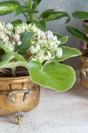 Green blooming violet in brass vintage flower pot on a concrete background. Copy space for text.