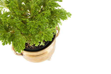 Green mosslike plant in vintage brass flower pot isolated on white. Top view of selaginella. 写真素材