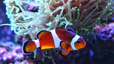 nemo: Real Nemo in coral reef Aquarium