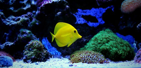 yellow tang: Yellow tang in coral reef aquarium