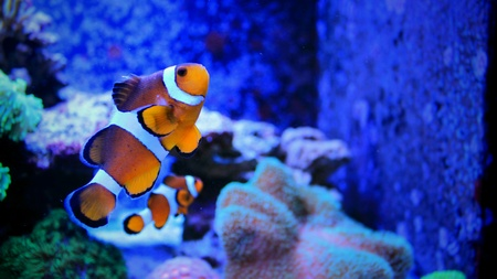 reef fish: Coral reef aquarium fish Stock Photo