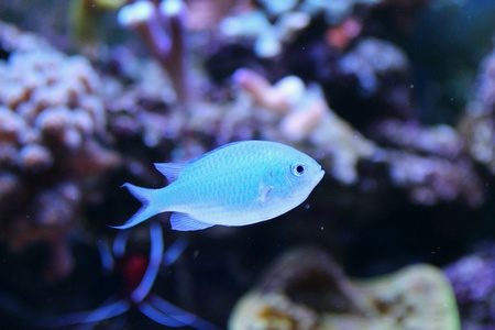 lps: Blue Chromis Fish