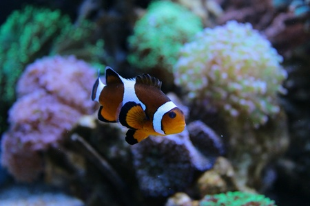 For reefers is Clownfish, for every other is Nemo Stock Photo