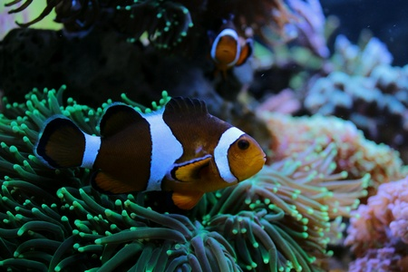 aqua: For reefers is Clownfish, for every other is Nemo Stock Photo