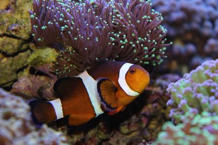 lps: Real Nemo Stock Photo