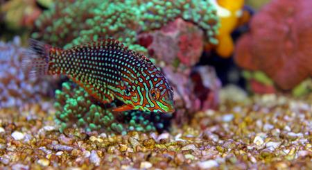 fish tank: Leopard Wrasse
