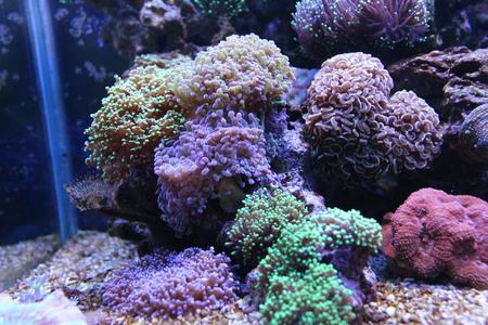 reefscape: Coral Garden in marine aquarium tank