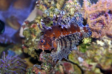 reefscape: Dwarf Lionfish (Dendrochirus brachypterus) Stock Photo