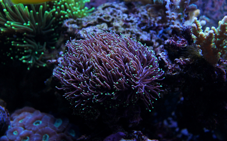 lps: Small tip torch coral