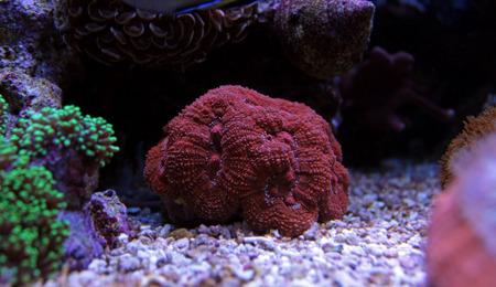 lps: Colorful Lobophyllia LPS coral in reef aquarium