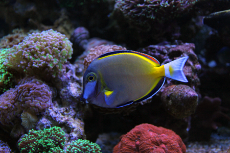 reefscape: Powder Brown Tang (Acanthurus japonicus)