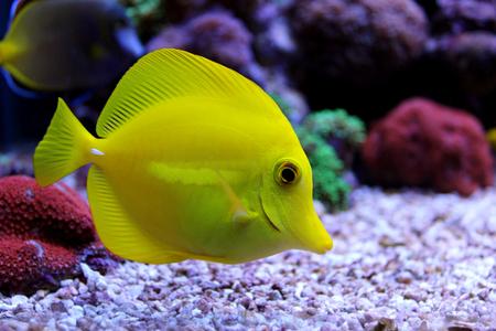 zebrasoma: Zebrasoma Yellow Tang Stock Photo
