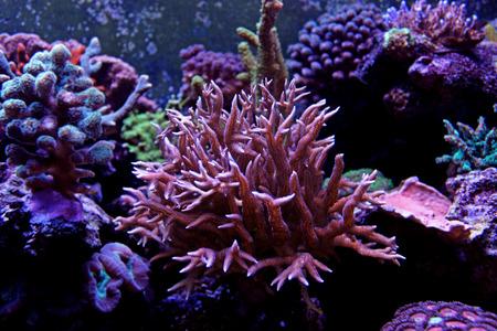 Pink SPS coral in marine aquarium