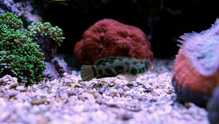 public aquarium: Spotted Mandarin (Synchiropus picturatus)