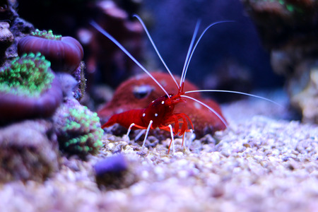 Red Fire Shrimp (Lysmata debelius) Stock Photo