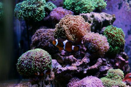 reefscape: Nemo (Ocellaris Clownfish) Stock Photo