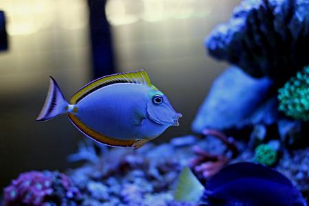 reefscape: Blonde Naso Tang (Naso elegans)