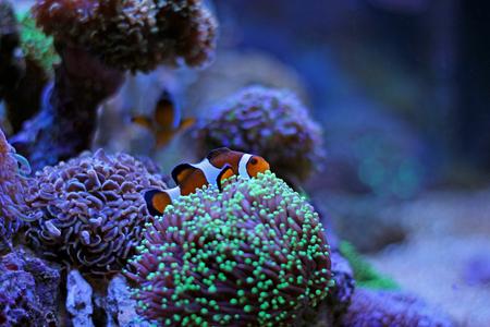 clown fish: Clownfish in reef tank Stock Photo